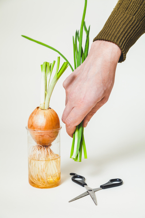 Hand of man holding a cut shoots of green onions on onion in a transparent jar on a white background  Stock Photo