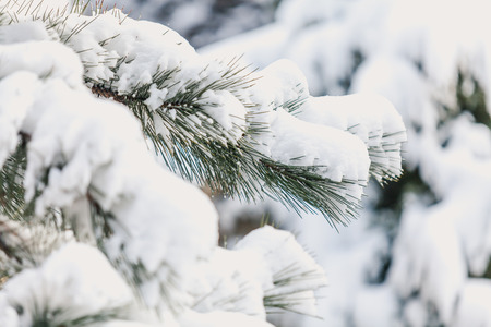 Winter nature. White fluffy snow lies on a pine branch with long needles close-up