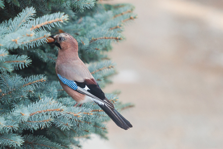 Cute jay sitting on a branch of a green coniferous tree close-up. In the beak holds a nut