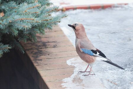 cute jay sits on a brick fence on an icy edge close-up