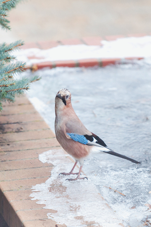 cute jay sits on a brick fence on an icy edge close-up Imagens - 90882189
