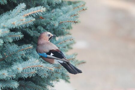 Cute jay sitting on a branch of a green coniferous tree close-up