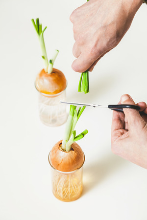 Hand with scissors cuts the man stalks of green onions with onions in a transparent glass on a white background