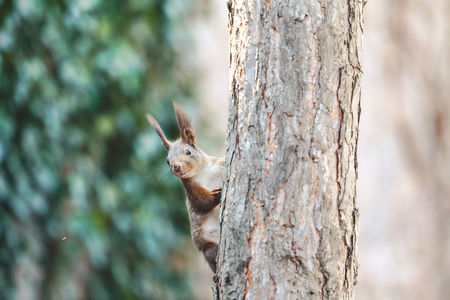 Squirrel ordinary with fluffy ears creeps along the vertical trunk of a pine closeup