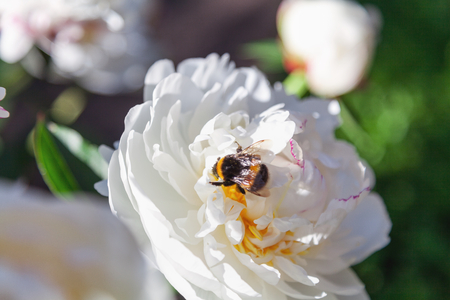 Shaggy bumblebee sits on a white flower peony with yellow stamens in the middle  Фото со стока