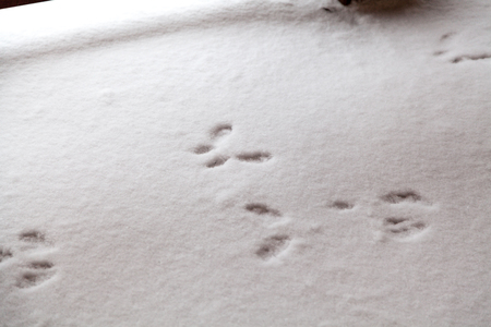 Traces of clutches of squirrels in the snow. Traces are directed in different directions