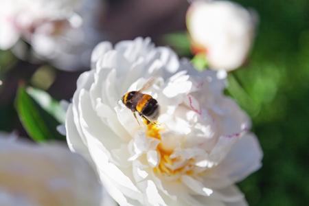 Shaggy bumblebee sits on a white flower peony with yellow stamens shaggy bumblebee sits on a white flower peony with yellow stamens in the middle stock photo mightylinksfo