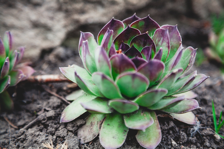 Echeveria is agave. A dense rosette of green leaves of the succulent with red tips grows on the soil. Side view