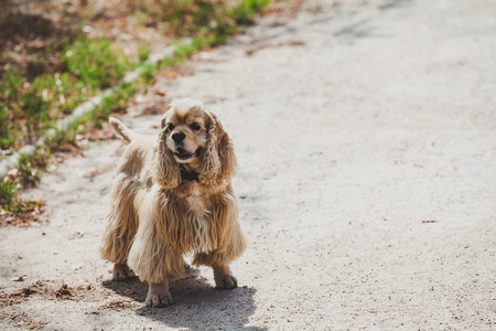 contented American cocker spaniel stands on a park path