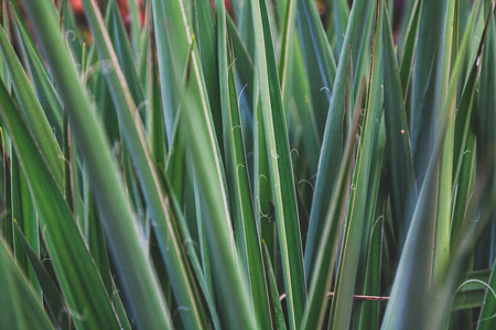 Amazing leaves of yucca plant. Beautiful green texture in the form of divergent rays.