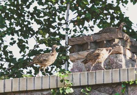 Two young pheasants are walking along a stone fence. The third one sits on a square pedestal on a summer day