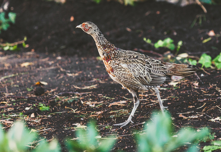 large female pheasant walks on the ground against a stone fence on a summer day