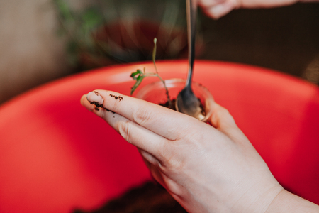 Transplanting seedlings. Hands compact the soil in a plastic container with a green sprout tomato spoon with a long handle