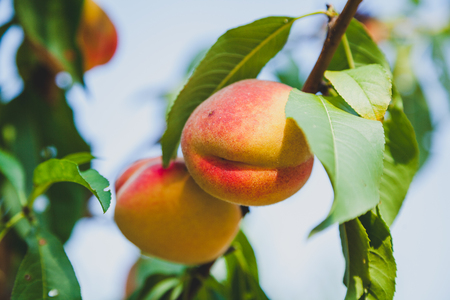 harvest of fruits. Two appetizing ripe peaches weigh on a vertical branch with green leaves