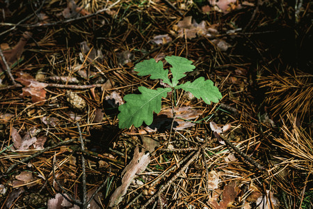 young oak tree. A small sprout of an oak tree with bright green leaves. Around the dry needles of pine. View from above