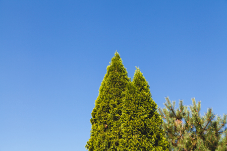 Evergreen Thuya trees stand against a clear blue sky