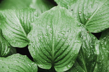 After the rain. Beautiful drops of water on the juicy green leaves of the host plant Reklamní fotografie