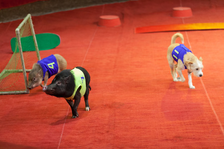 Animals are athletes. Little pigs and a dog in sports manikins play football in the circus arena