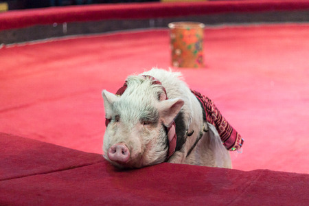 Pig in the circus. A pretty pig lies on the red barrier in the circus arena close-up. A pink piglet is visible