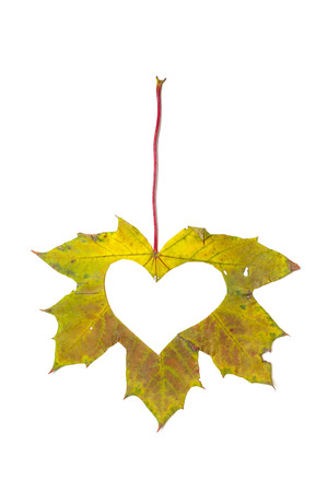 Autumn heart. A symbol of the heart cut out by stencils from a beautiful green maple leaf. Isolated over white background