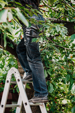 man in black jeans climbs onto a fruit tree with an aluminum ladder