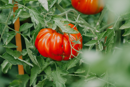 Bush of a tomato. A large red tomato ribbed structure of a variety A ribbed giant grows on a tall green bush