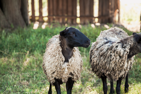 two sheep with a black head graze on the green grass in the yard on a summer day