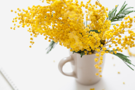 Spring mood. Branch of a yellow mimosa standing in a white cup on a white background