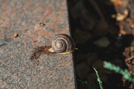 large mollusk with a round sink crawls on a smooth granite surface on a summer day Imagens
