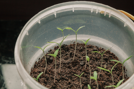 We grow seedlings. Thin tomato sprouts with green leaves grow in a round plastic container