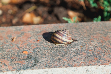 large mollusk with a round sink crawls on a smooth granite surface on a summer day Stock Photo