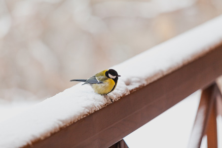 Birds in the winter. Cute tit is sitting on a snow-covered railing of a wooden fence. Banco de Imagens