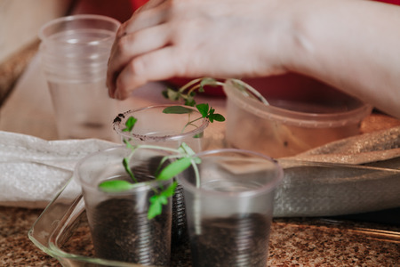 preparation of seedlings. A womans hand takes a thin green tomato from a round plastic box