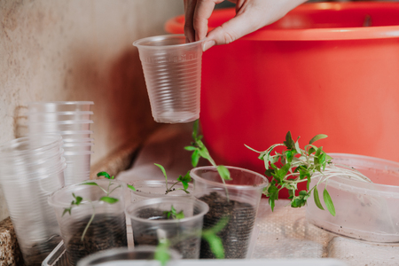 Preparation of seedlings. A hand takes a plastic glass from a stack Below there is a box with green sprouts of tomatoes Reklamní fotografie