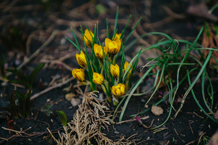 Spring flowers. A group of yellow flowers of saffron and green leaves grow in the garden