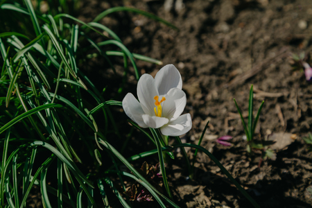 Spring flowers. Beautiful white flower of saffron with yellow stamens and green grass grow in the garden Reklamní fotografie