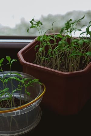 Growing seedlings. Thin sprouts of tomatoes with green leaves grow in a plastic container brown Reklamní fotografie