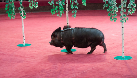 Pig and birch. A black pig on short legs runs between the trunks of toy birches in the circus arena Stockfoto