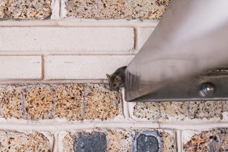 small gray mouse crawls out of a stainless metal construction against a brick wall. 写真素材 - 122407427