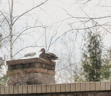 wild duck mallard sits on a brick column in the spring afternoon