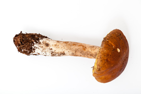 edible mushroom pimber is lying on a white background. On the foot of the remains of the soil.
