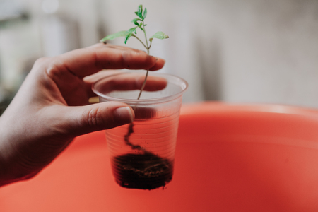 Preparation of seedlings. The woman's hands plant a green tomato sprout in a transparent plastic container. Bottom capacity with soil