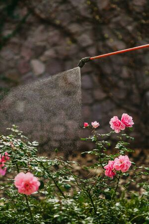 Pest control. A bush of pink flowers sprayed with drops of water from a long tube