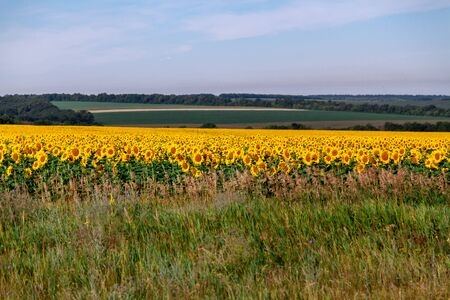 Agrarian landscape. A field of yellow sunflowers against the background of green crops and the sky Stock Photo