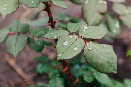 After the rain. Beautiful water drops on lush green leaves of a rose bush