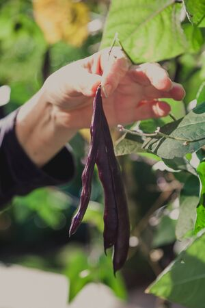 Hand breeder. Hand holds purple bean pods on green bush Reklamní fotografie