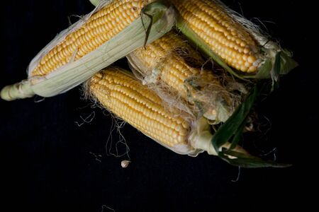 Appetizing cobs of ripe yellow corn with green leaves lie on a black background close-up