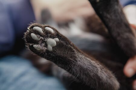 Finger pads on the back paw of a black cat from the bottom side close-up