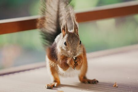 Luxurious squirrel with big fluffy ears stands on its hind legs. In the front legs holds a nut close up. Looking straight Stock fotó