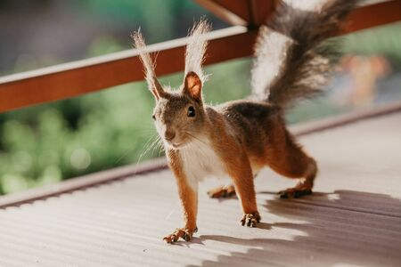 Very long hair on the ears of red squirrels glowing brightly in the sun. Imagens